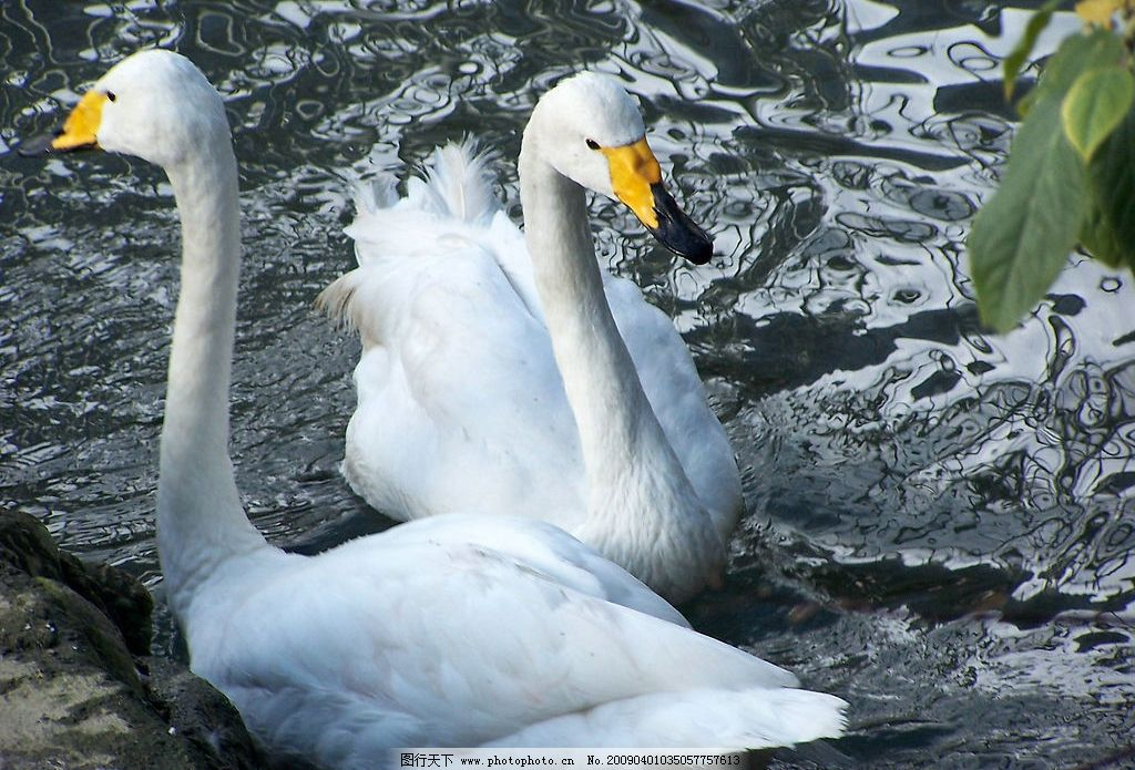 水鸭 鸭子 水 戏水 游 春暖 生物世界 野生动物 摄影图库 230dpi jpg