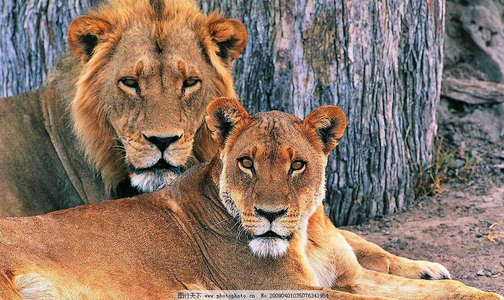 野生动物狮子 野生动物 狮子 两只 一公一母 休息 生物世界 摄影图库