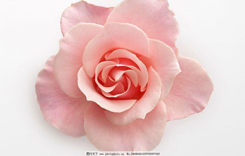高清玫瑰花 粉色图片