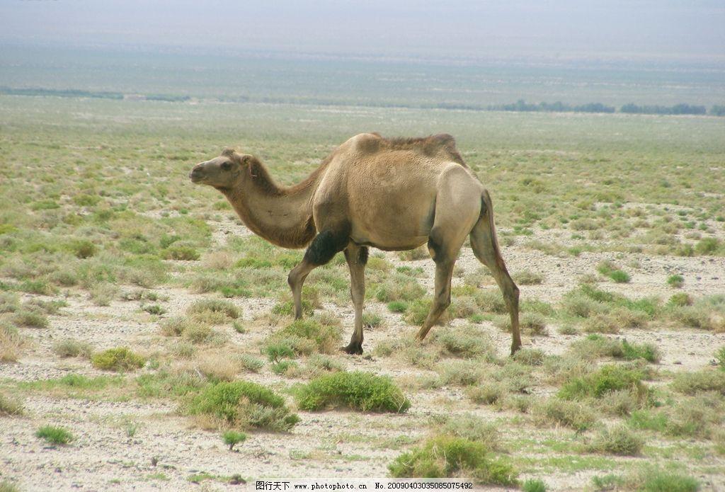 高原野骆驼 生物世界 野生动物 摄影图库
