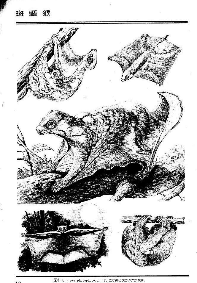 斑鼯猴 百兽 兽 家禽 猛兽 动物 白描 线描 绘画 美术 禽兽 野生动物