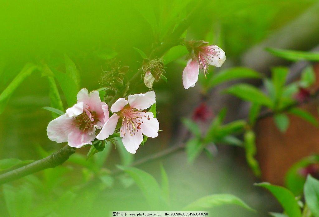 桃花 春天 绿色 红色 万绿一点红 美丽 生物世界 花草 摄影图库