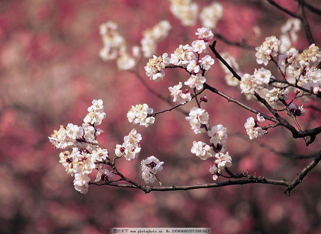 梅花 顽强不息 花朵 野花 鲜花 白色 风景 自然 清新 高像素