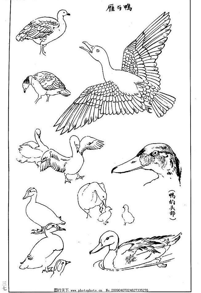百鸟谱 雁 鸭 百鸟 百鸟图 鸟类 鸟兽 花鸟 小鸟 白描 线描 黑白稿 绘