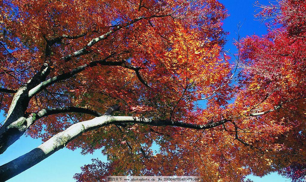 枫叶 红枫叶 红叶 秋天 秋季 自然景观 自然风景 摄影图库 137dpi jpg