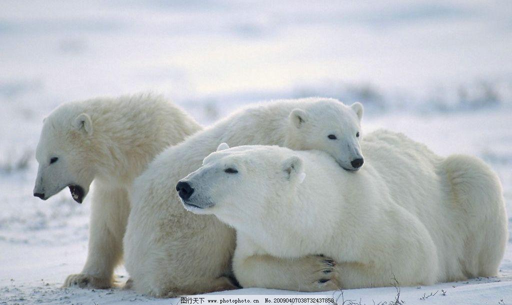 北极熊图片,雪地 寒冷 可爱 动物 白色 毛茸茸 建筑