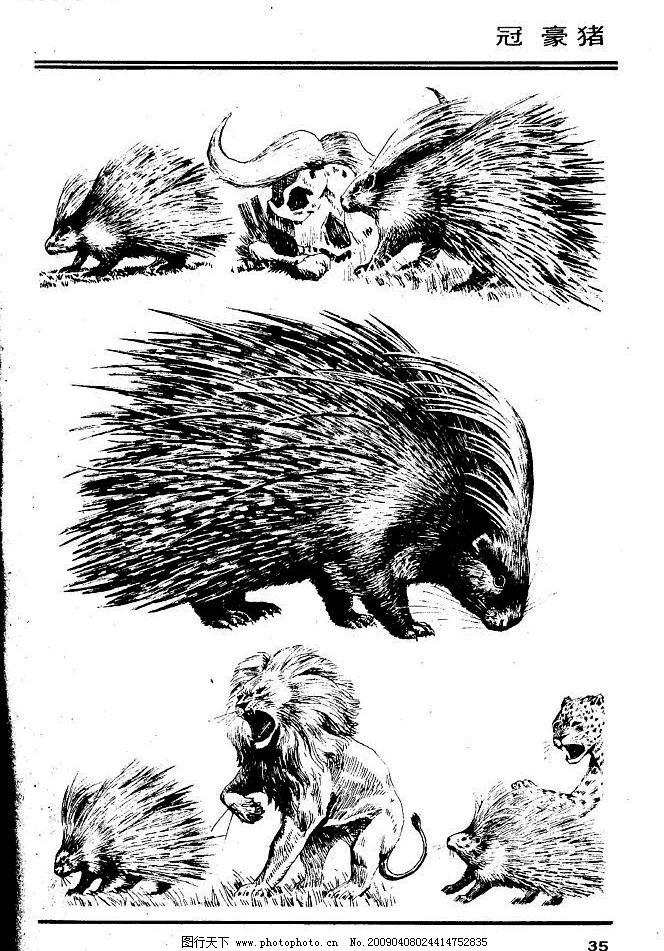 画兽谱34 冠豪猪 百兽 兽 家禽 猛兽 动物 白描 线描 绘画 美术 禽兽