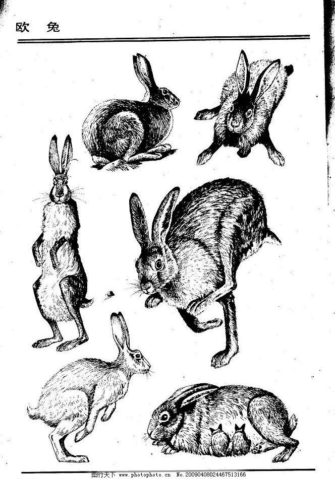 欧兔 百兽 兽 家禽 猛兽 动物 白描 线描 绘画 美术 禽兽 野生动物 画