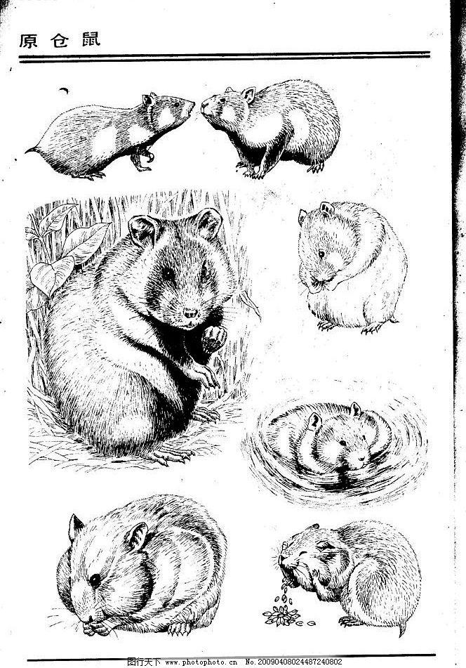 画兽谱33 原仓鼠 百兽 兽 家禽 猛兽 动物 白描 线描 绘画 美术 禽兽