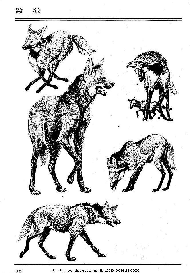 动物狼线描图片