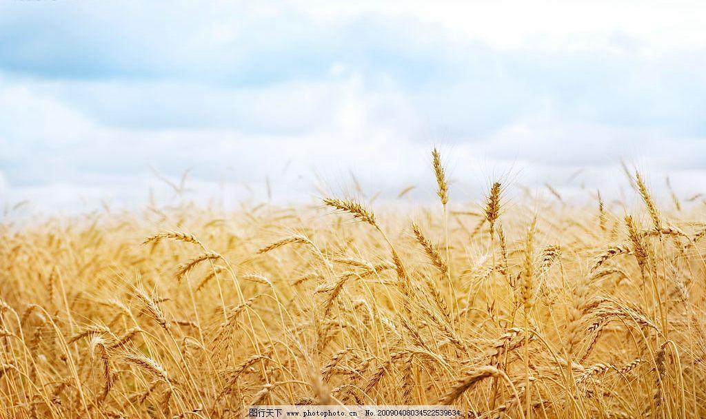 金黄的麦田 金黄色的麦田 丰收 唯美的秋天 自然景观 自然风光 设计