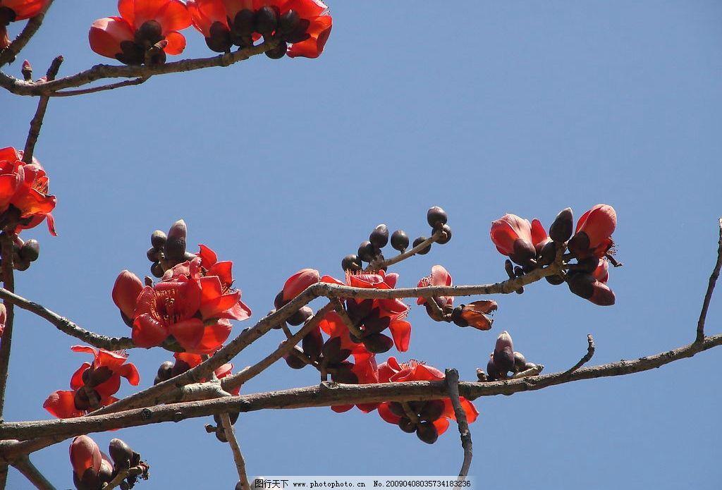 木棉花 红色 蓝天 红花