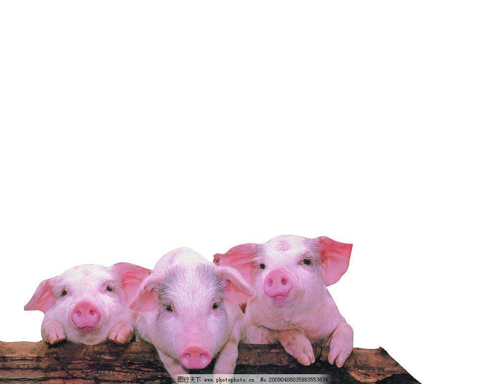 三只小猪 三只可爱的小猪 生物世界 家禽家畜 摄影图库 300dpi jpg
