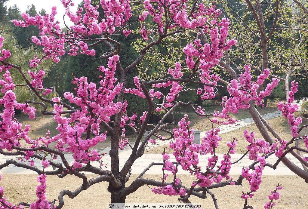 桃花盛开 春天 桃树 春天来了 旅游 实景 桃枝 花枝 粉色 粉色桃花