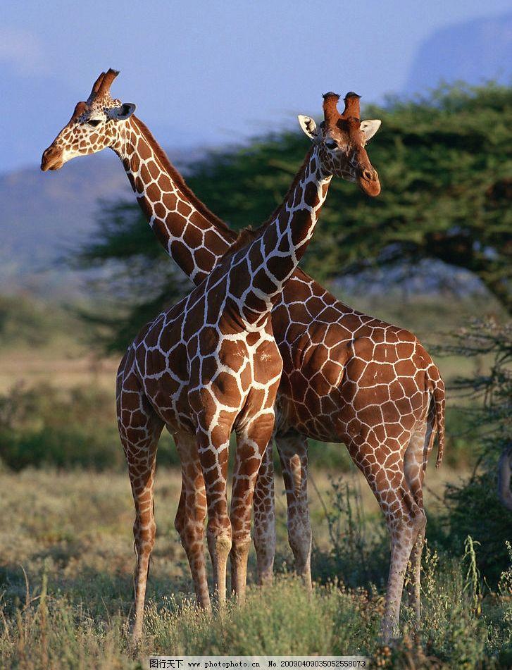 动物 梅花鹿 生物世界 野生动物 摄影图库
