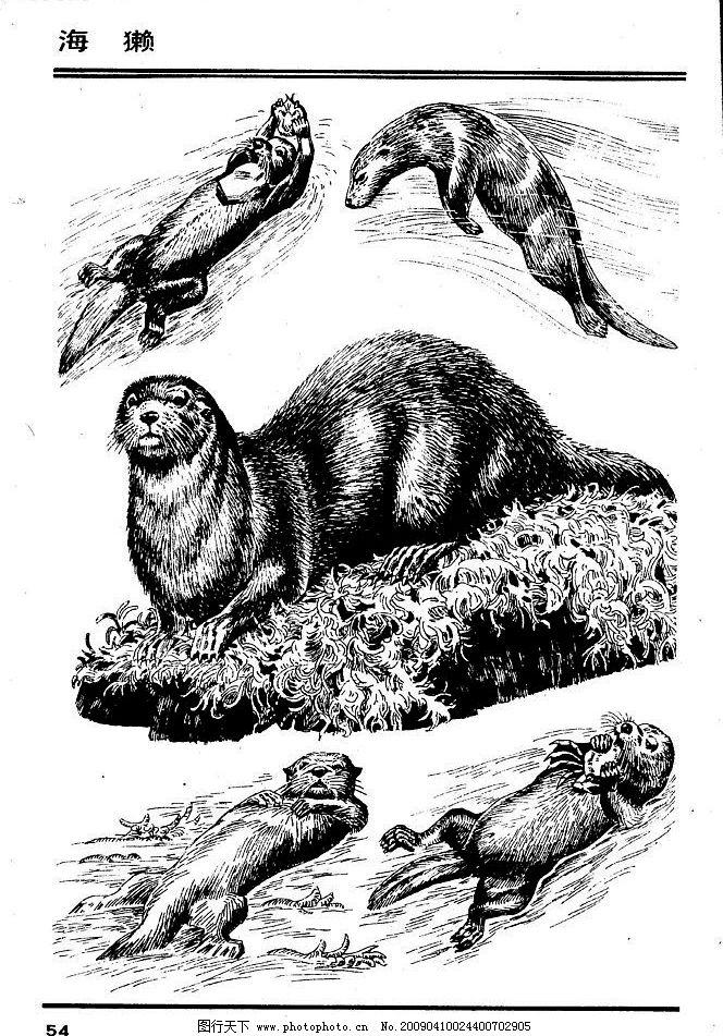 海獭 百兽 兽 家禽 猛兽 动物 白描 线描 绘画 美术 禽兽 野生动物 画