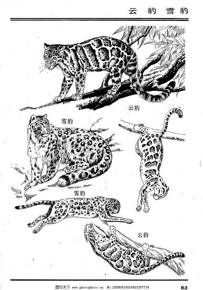 画兽谱67 豹 百兽 家禽 猛兽 动物 白描 线描 绘画 美术