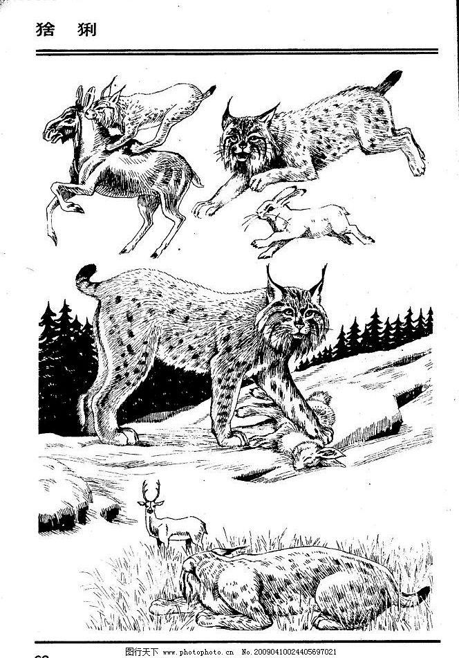 画兽谱64 猞猁 百兽 家禽 猛兽 动物 白描 线描 绘画 美术