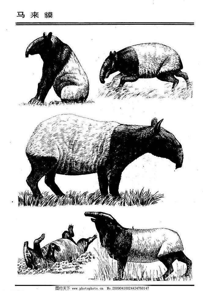 画兽谱84 马来貘 百兽 家禽 猛兽 动物 白描 线描 绘画 美术