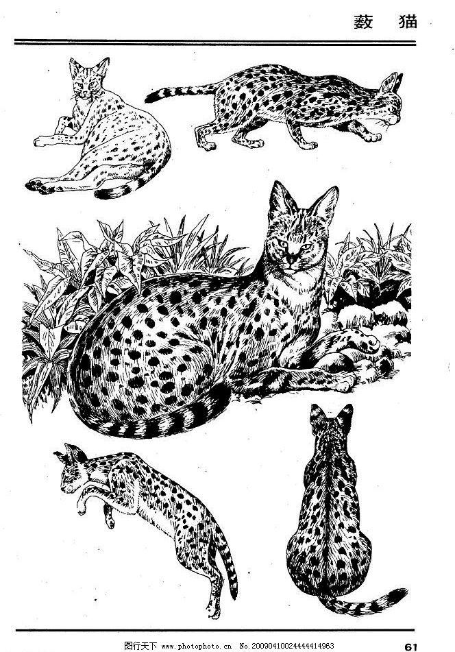 画兽谱65 薮猫 百兽 家禽 猛兽 动物 白描 线描 绘画 美术