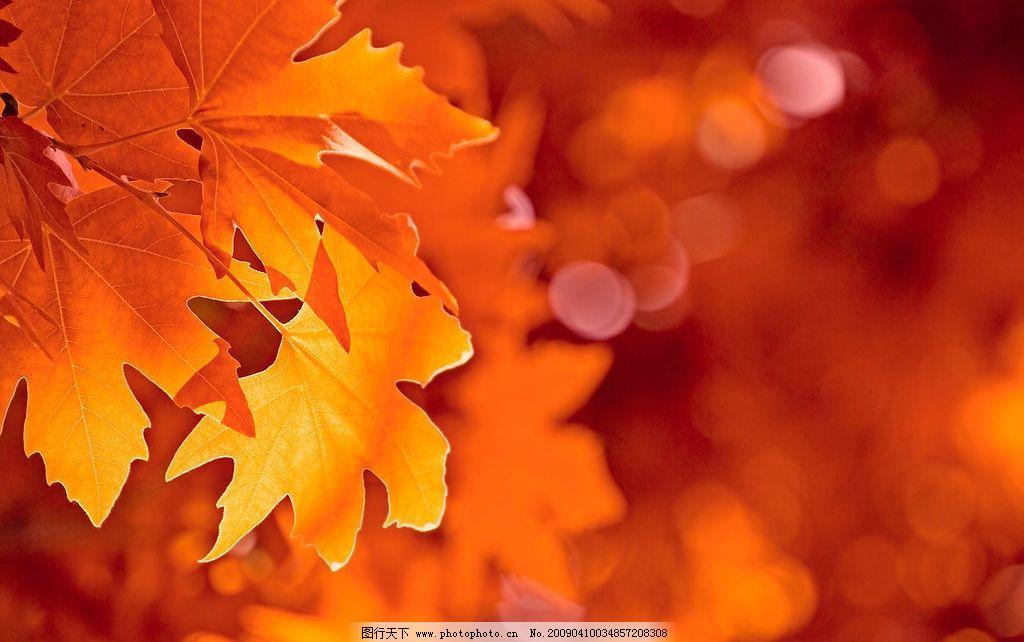 红枫叶 秋季 秋天 枫树 枫叶 灿烂 艳丽 树叶 叶子 背景 桌面 自然