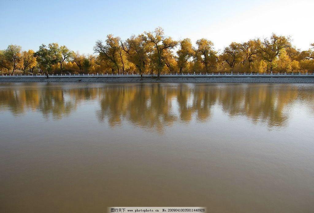 胡杨林 河边 树林 额济纳河 黑河 胡杨树 胡杨 黄叶 秋叶 树木 树叶