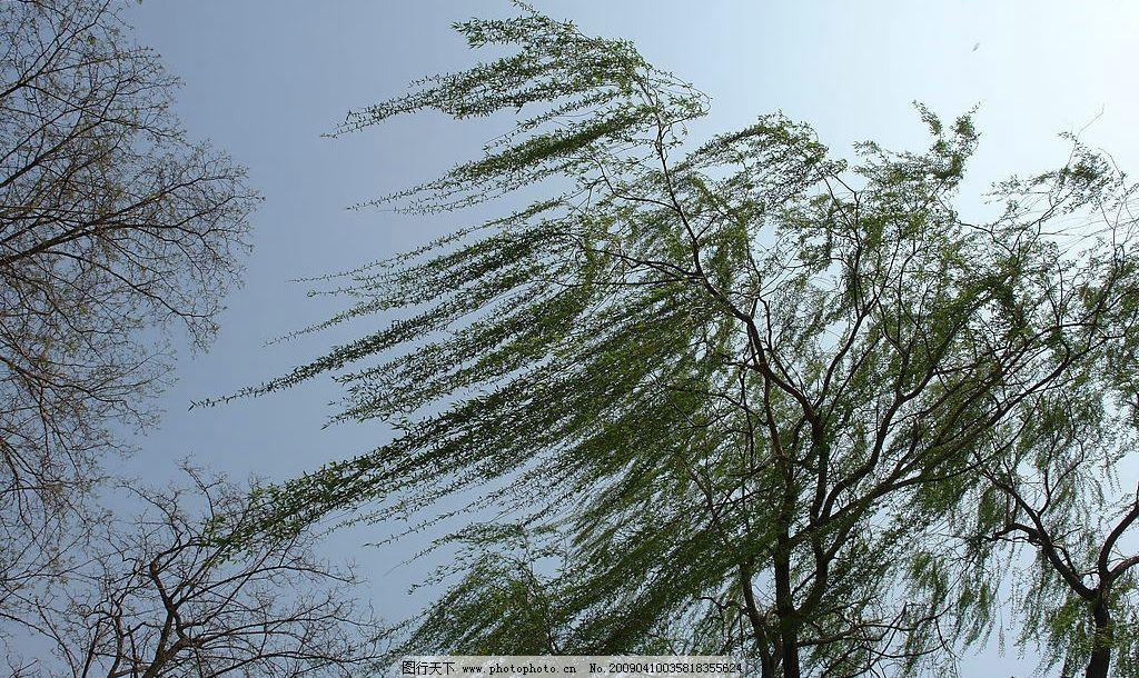 树木 树叶 树枝 大树 柳树 树干 春天 生物世界 树木树叶 摄影图库 72