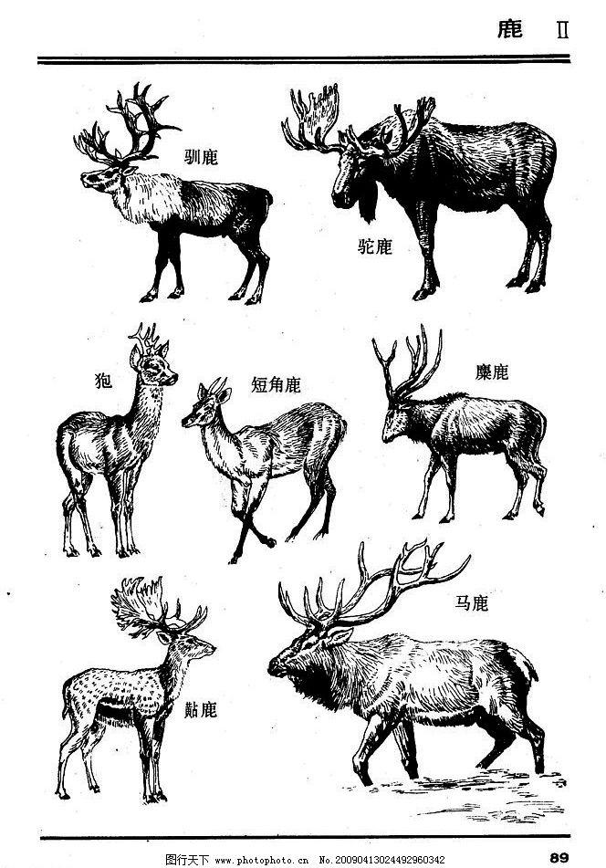 百兽谱 鹿 百兽 兽 家禽 猛兽 动物 白描 线描 绘画 美术 禽兽 野生