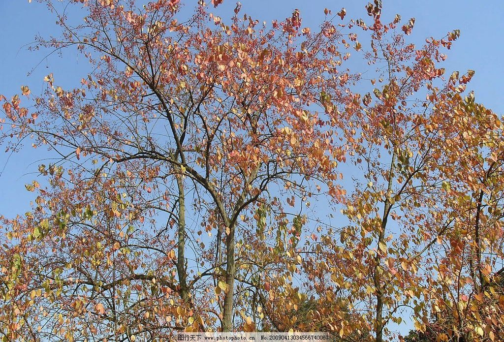 秋天 树 叶子 自然景观 田园风光 摄影图库 96dpi jpg