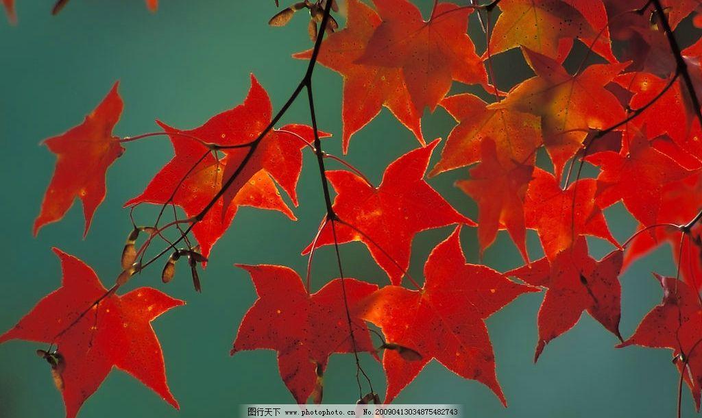 枫树 红叶 叶子 树木 背景 红色 秋天 秋季 季节 自然景观 自然风景