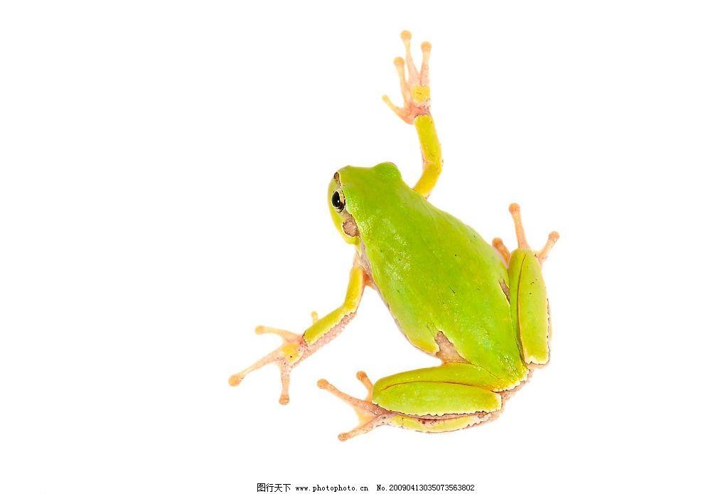 可爱青蛙 青蛙 爬行动物