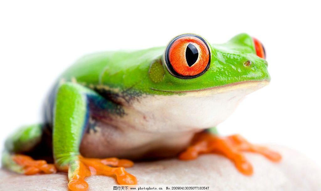 青蛙 爬行动物 跳远高手 动物 生物世界 野生动物 摄影图库 300dpi