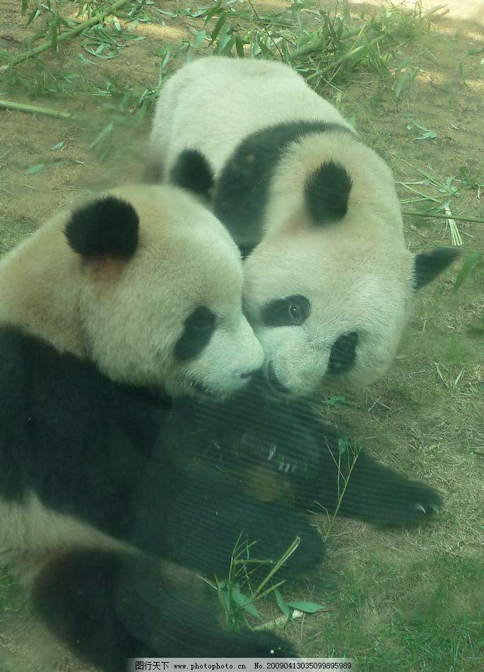 熊猫 两只熊猫 草地 竹子 生物世界 野生动物 摄影图库 180dpi jpg