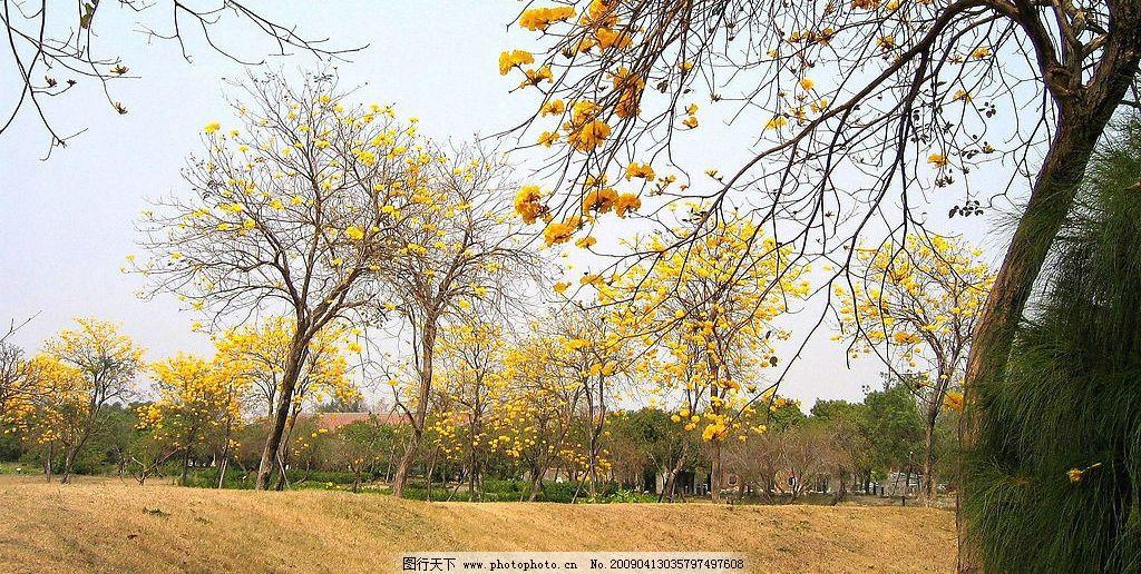 风铃木 大自然 景观 生物 植物 田间 树林 树木 树枝 花草 生物世界