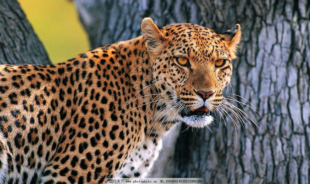 豹子 花豹 金钱豹 生物世界 野生动物 摄影图库 72dpi jpg