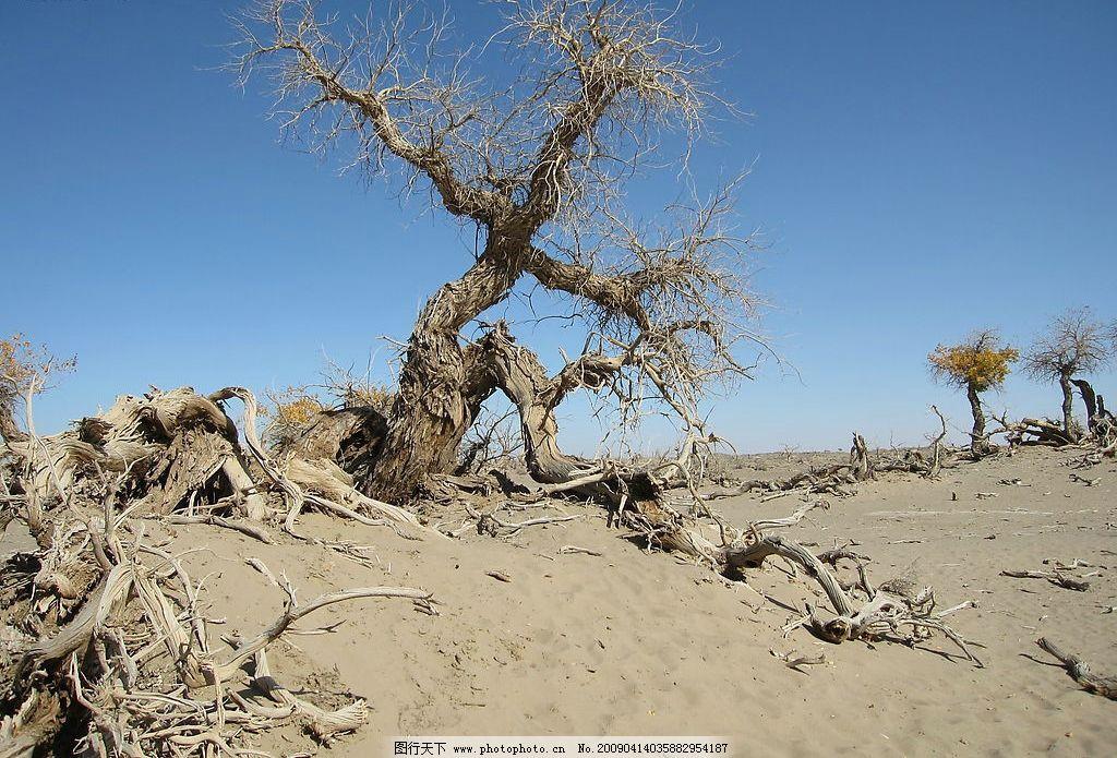 胡杨 内蒙古 额济纳 生物世界 树木树叶 戈壁 胡杨林 沙漠 胡杨树
