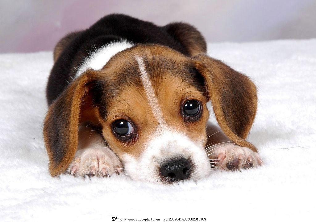 可爱的狗狗趴着