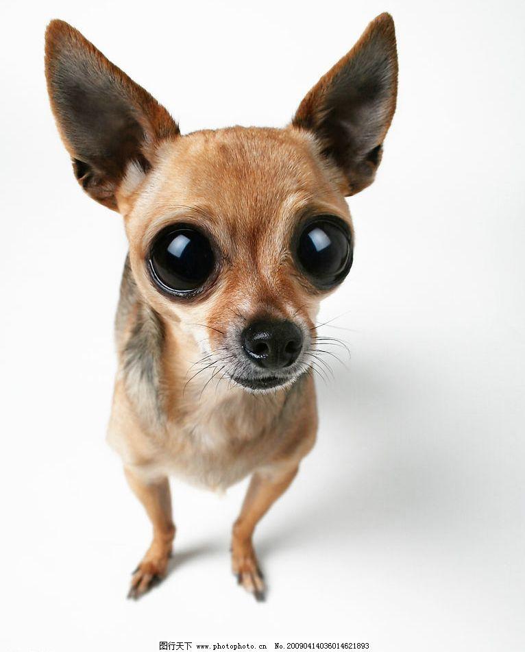 狗狗素材 动物 名贵 名犬 可爱 吉娃娃 其他生物 摄影图库