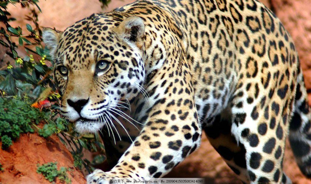 动物世界 豹 豹子 凶猛 保护动物 生物世界 野生动物 摄影图库 300dpi