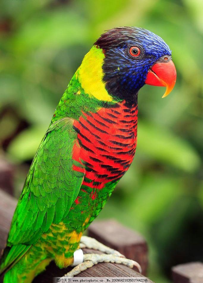 五彩鹦鹉 鹦鹉 鸟类 实用图片 生物世界 野生动物 摄影图库 300dpi