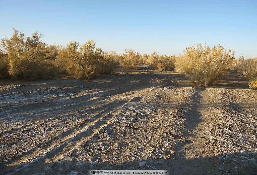 红柳 柽柳 内蒙古 额济纳旗 沙漠 戈壁 生物世界 树木树叶 灌木 灌木