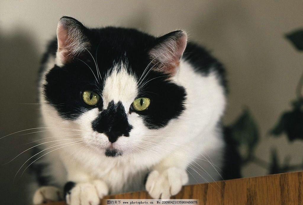 可爱猫咪 宠物 动物 摄影图库