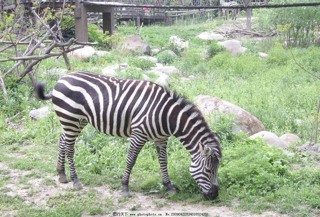 斑马 上活动物园 旅游摄影 国外旅游 摄影图库 96dpi jpg