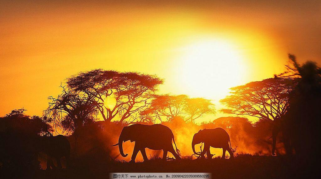 大象 动物 夕阳下的大象 生物世界 野生动物 摄影图库