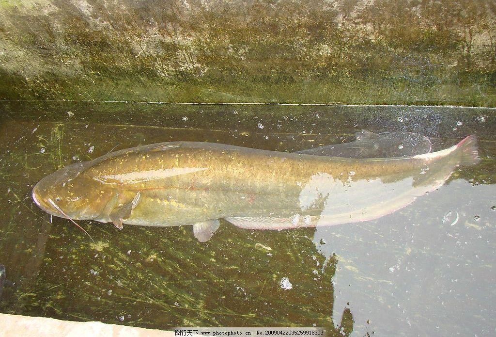 鲢鱼 鱼 水 生物世界 鱼类