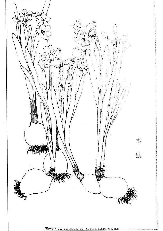 page(1002) 水仙 百花 花草 花 草 白描 线描 黑白稿 绘画 工笔 花谱
