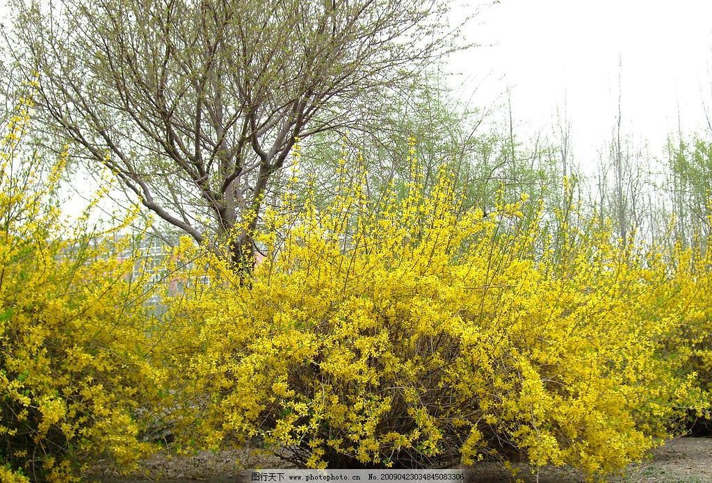 迎春花 春花 花 植物 春天 春光 风景 美景 春色 春天到了 自然景观