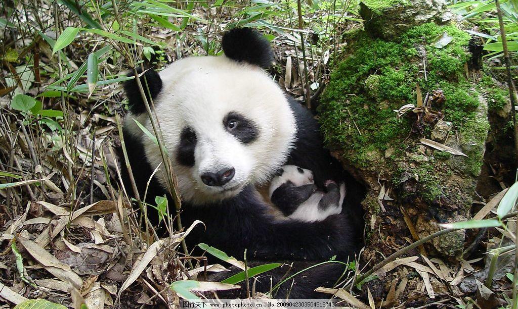 大熊猫 佛坪 自然景观 生物世界 野生动物 摄影图库