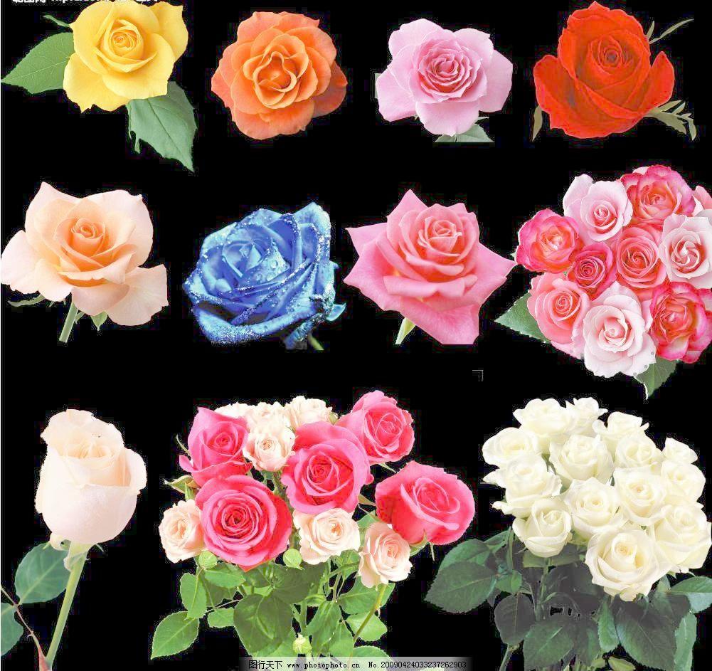 玫瑰花 玫瑰花图片免费下载 彩色 蓝色妖姬 源文件库 玫瑰花素材下载