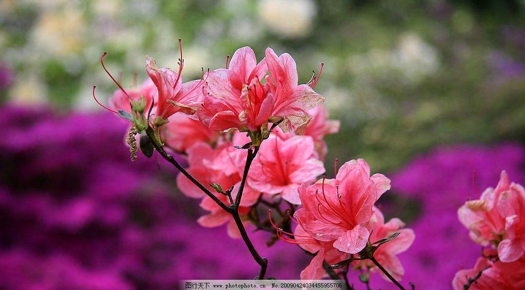 红花 杜鹃花 红叶 自然景观 山水风景 摄影图库 72dpi jpg 风景